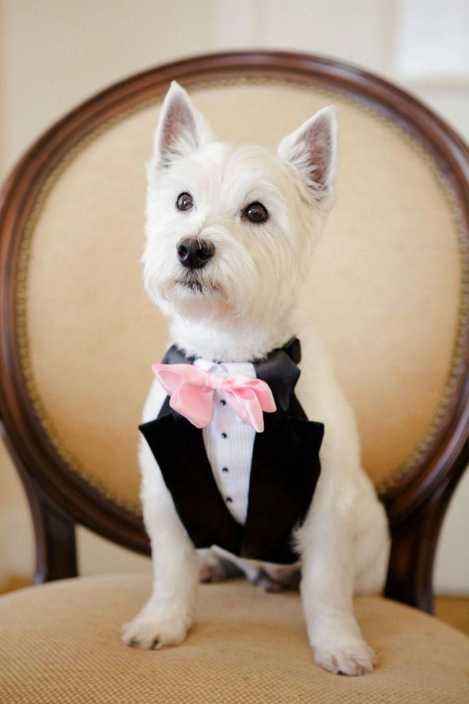 Unique Wedding Ideas Dog In Black And White Tuxedos 682 1024